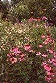 Purple Coneflowers and Rattlesnake Master, from the Photographer's Gardens