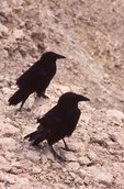 A Pair of Common Ravens