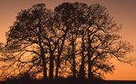A Copse of Bur Oak Trees at Sunset