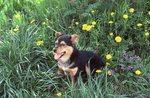 Little Smokey in a Wildflower Meadow