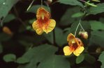 Spotted Touch-Me-Not Not (Jewelweed) along the Appalachian Trail