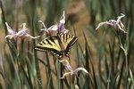 A Western Tiger Swallowtail Butterfly on Western Blue Flag Iris