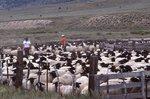 A Rambouillet Sheep Ranch