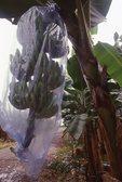 A Banana Plantation