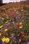 Wildflowers near Shrine Pass