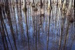Bald Cypress Reflected in Heron Pond