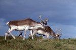 Woodland Caribou on the Avalon Peninsula