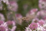 A White-Winged Sphinx Moth on Rocky Mountain Beeplant at Ice Slough