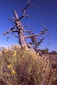 A Limber Pine Snag