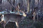 Virginia White-tail Deer