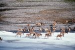 Migrating Caribou Crossing the Aichilik River