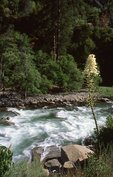 Beargrass at the South Fork of Kings River