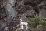 A Young Dall Sheep above Turnagain Arm
