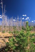 Lodgepole Pine Forest Regeneration, Ten Years after the Yellowstone Fire