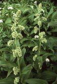 False Hellebore (Corn Lily)