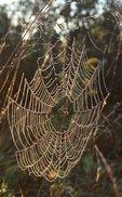 An Orb Weaver (Garden) Spider's Web