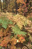 Bracken Ferns and Maple Leaves in the North Woods