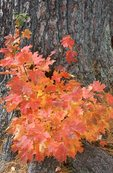 A Sugar Maple in the North Woods (Autumn Study #187)