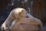 A Captive Polar Bear