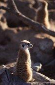 A Southwest African Suricate (Meerkat)