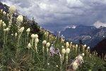 Beargrass near Brown Pass