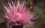 A Bee on Wild Bergamot