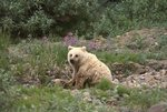 An Alaskan Grizzly Bear