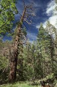 A Ponderosa Pine Snag in the Fish Creek Valley