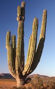 A Giant Cardon Cactus