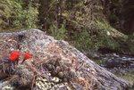 Claret Cup Cactus near Fish Creek