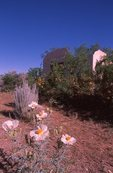 Prickly Poppy near an Abandoned House in the Chihuahuan Desert