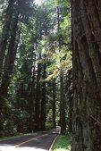 Redwoods along California Highway 36