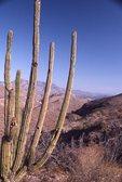 An Organ Pipe Cactus in El Sierra de la Giganteca