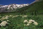 Cow Parsnip near Gunsight Lake