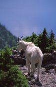 A Mountain Goat at Gunsight Pass