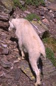 A Mountain Goat at Gunsight Pass