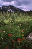 Indian Paintbrush and Western Anemone in a Subalpine Meadow