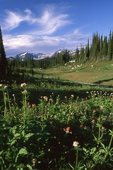 A Subalpine Meadow in the Selkirk Mountains