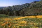 Poppies and Goldfields above Figueroa Canyon