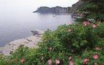 Wild Roses at Cap Bon Ami