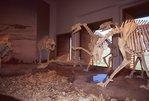 Dinosaur Skeletons in a Visitor Center Museum