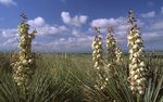 Yuccas on the Northern Plains