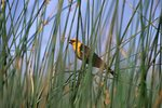 A Yellow-headed Blackbird Resting on Reeds in a Desert Marsh