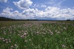 Wild Onions in the Bechler Meadows