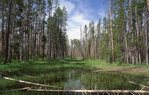 A Lodgepole Pine Forest near the Bechler Meadows