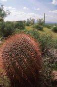 A Barrel Cactus