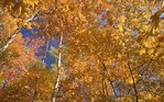 A North Woods Autumn Forest Canopy