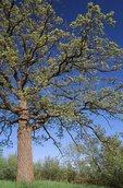 A Bur Oak in Springtime