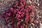 Purple Mountain Saxifrage in the Canadian Arctic