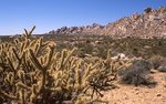Buckhorn Cholla Cactus near the Granite Mountains